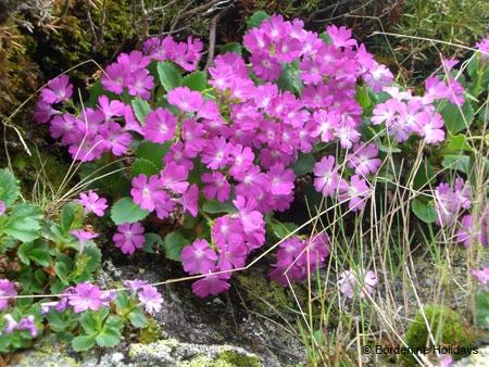 Primulaceae Primula hirsuta