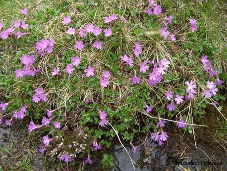 Primulaceae Primula integrifolia