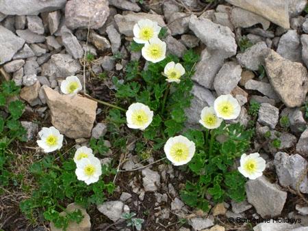 Ranunculaceae Ranunculus alpestris