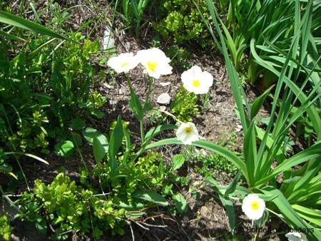 Ranunculaceae Ranunculus amplexicaulis