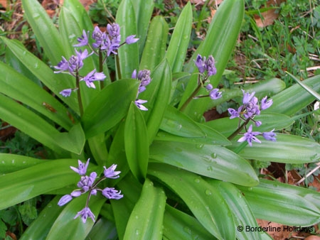 Liliales Scilla liliohyacinthus