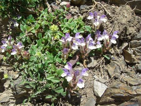 Lamiaceae Scutellaria alpina