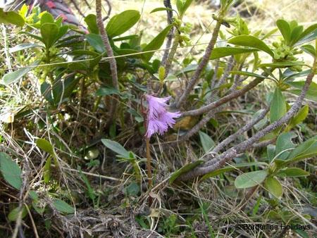 Primulaceae Soldanella alpina