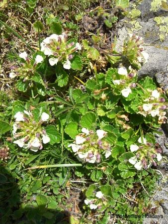 Lamiaceae Teucrium pyranaicum