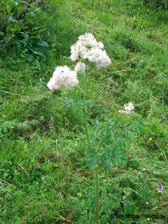 Ranunculaceae Thalictrum aquilegfolium