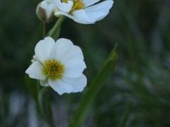 Ranunculaceae  Amplexicaule Buttercup