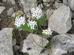Rubiaceae Asperula hirta