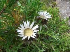 Asteraceae Carlina acaulis