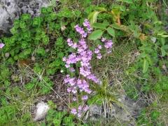 Asteraceae Erinus alpinus