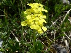 Brassicaceae Erysimum decumbens