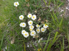 Cistaceae Helianthemum apenninum