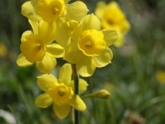 Amaryllidaceae Narcissus assoanus (requienii)