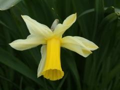 Amaryllidaceae Narcissus pseudonarcissus