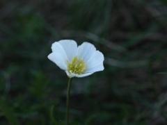 Ranunculaceae Ranunculus pyrenaeus
