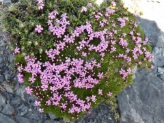 Caryophyllaceae Silene acaulis - Moss Campion