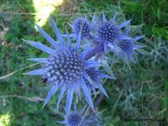 Umbelliferae Eryngium bourgatti