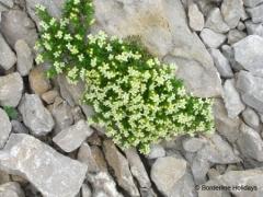 Rubiaceae Galium caespitosum