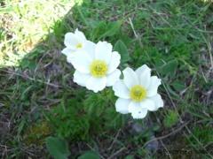 Ranunculaceae Pulsatilla alpina