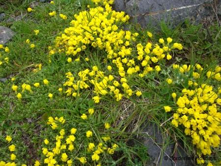 Primulaceae Vitaliana primuliflora