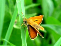 Hesperiidae: Thymelicus sylvestris