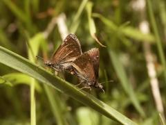 Hesperiidae: Erynnis tages