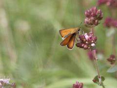 Hesperiidae: Thymelicus lineolus