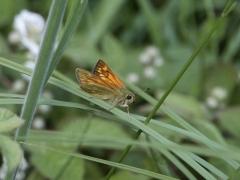 Hesperiidae: Ochlodes sylvanus
