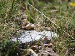 Hesperiidae: Hesperia comma