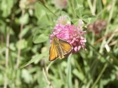 Hesperidae: Thymelicus sylvestris