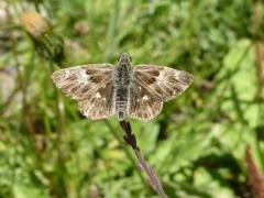 Hesperiidae: Carcharodus flocciferus