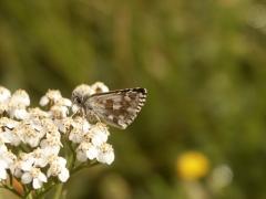 Hesperiidae: Pyrgus serratulae