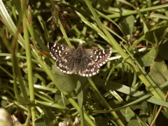 Hesperiidae: Pyrgus malvoides