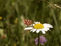 Hesperiidae: Spialia sertorius