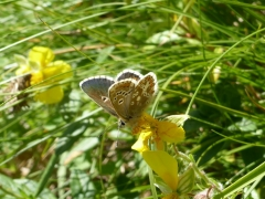 Lycaenidae: Aricia morronensis