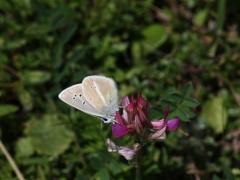 Lycaenidae: Polyommatus damon