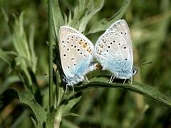 Lycaenidae: Polyommatus amandus