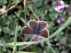 Lycaenidae: Aricia agestis