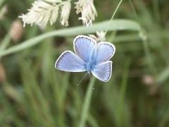 Lycaenidae: Polyommatus thersites