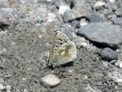Lycaenidae: Agriades pyrenaicus