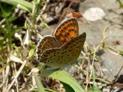 Lycaenidae: Lycaena tityrus