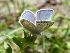 Lycaenidae: Polyommatus escheri
