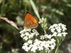 Lycaenidae: Lycaena vigaureae