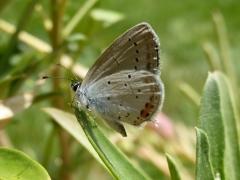 Lycaenidae: Cupido argiades