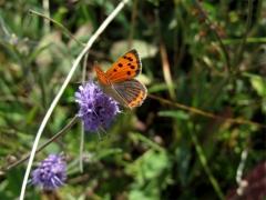 Lycaenidae: Lycaena phlaeas