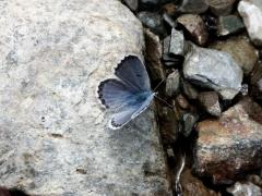 Lycaenidae: Pseudophilotes baton