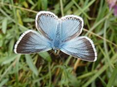 Lycaenidae: Polyommatus coridon