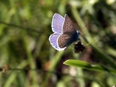 Lycaenidae: Polyommatus icarus