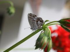 Lycaenidae: Cacyreus marshalii
