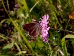 Lycaenidae: Eumedonia eumedon