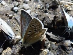 Lycaenidae: Agriades glandon